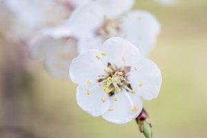 apricot bloom