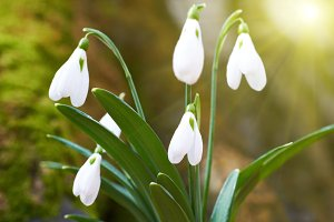 Snowdrops first spring flowers