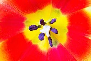 Macro close up shot of red tulip