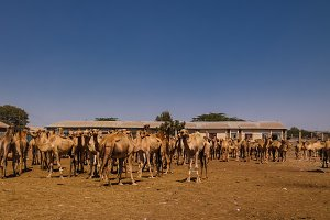 Camels in the camel market in Hargeisa, Somalia