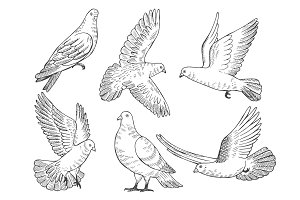 Illustrations set of pigeons. Hand drawn pictures of birds isolate on white