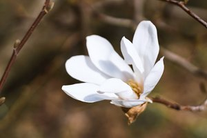 White Magnolia Flower. Nature
