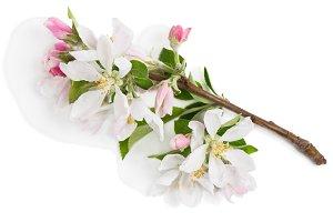 Apple twig in bloom.