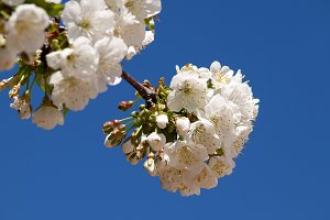 White blossom cherry on branch