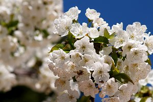 White cherry blossom on branch