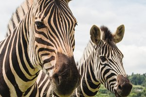 Zebras (portrait view)