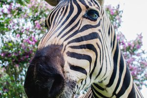Zebra (portrait view)