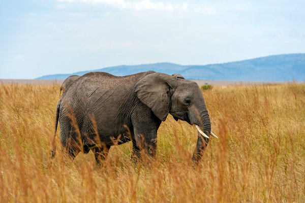 Animal Stock Photos - Elephant