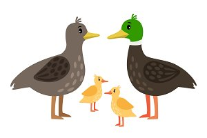 Duck family. Vector mother duck, drake and little ducklings isolated on white