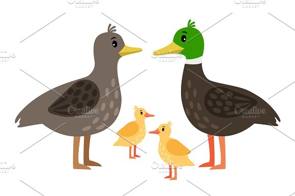 Duck Family Vector Mother Duck Drake And Little Ducklings Isolated On White