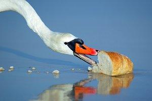 Beautiful swan eating bread