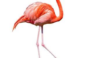 Caribbean flamingo dancing cutout