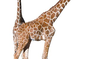Young giraffe couple cutout