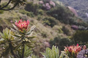 Protea blooming, South Africa