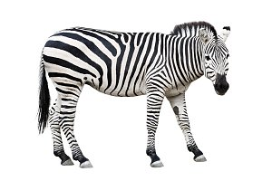Common plane zebra cutout