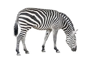 Zebra seeking ground cutout
