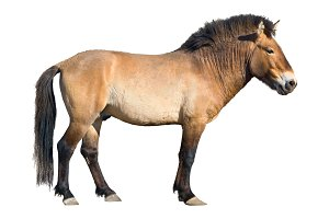 Przewalski's wild horse cutout