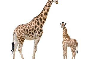 Giraffe mother and baby cutout