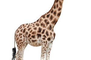 Giraffe female cutout