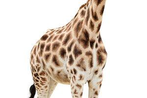 Giraffe staring cutout