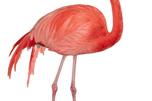 Caribbean Flamingo cutout