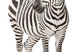 Zebra pregnant cutout