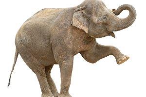 Asian elephant female greeting