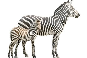 Zebra with foal girl cutout