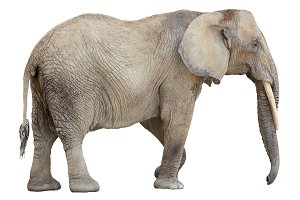 African Elephant Female Cutout
