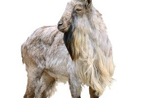 Markhor male cutout