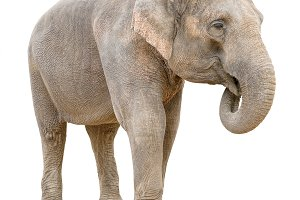 Asian elephant female talking cutout