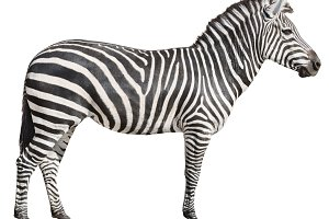 Plain Burchell's Zebra female cutout
