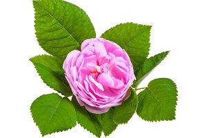 Tea rose pink flowers