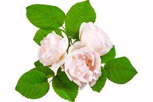 Tea rose cream flowers