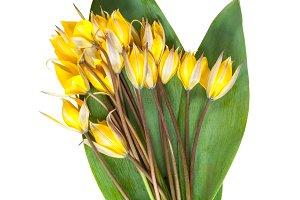 Wild yellow tulip flowers