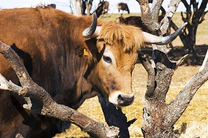 Oxen in spanish cattle farm