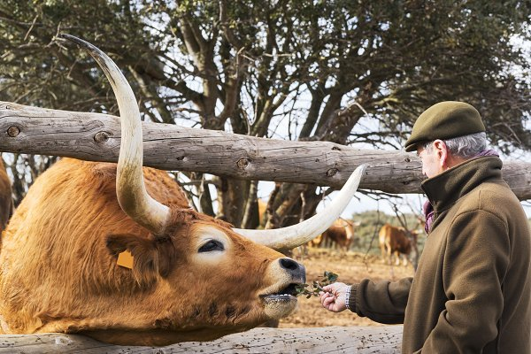 Animal Stock Photos: Genaro Diaz photographs - Oxen in spanish cattle farm