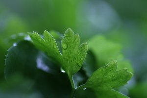 Green parsley with water drops.