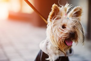 yorkshire terrier dog on a leash