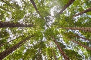 Set sequoias.