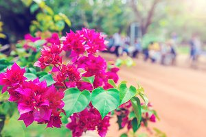 Red flowers of bougainvillea tree.