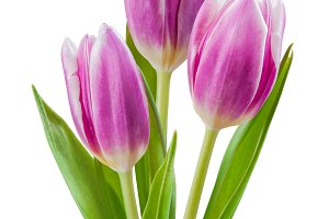 Isolated tulip flowers