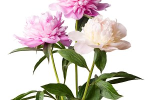 Isolated peony flowers
