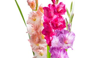 Isolated gladiolus flowers