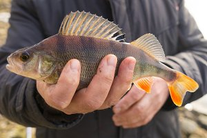 Common perch
