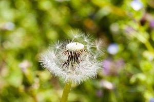 white dandelion ball