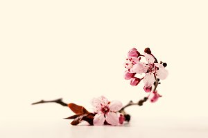 Cherry blossom flowers on white background