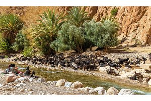 Herd of goats at the Todra River, Morocco