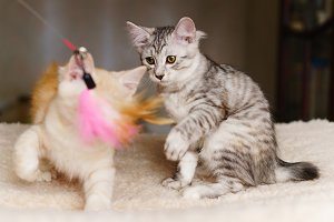 Two kittens play with toy