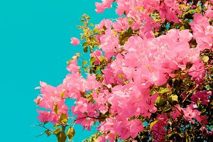 Bush of Bougainvillea flowers